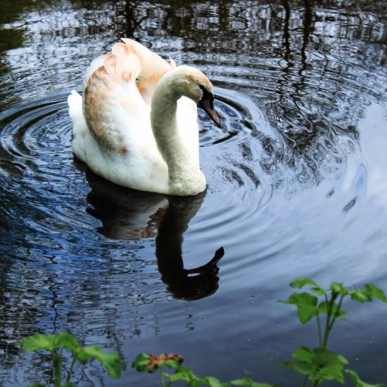 Immature Mute Swan 4