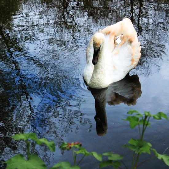 Immature Mute Swan 2