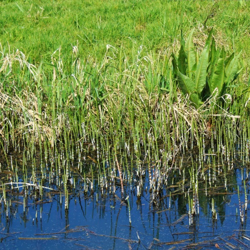 Horsetails at Surlingham Church Marsh