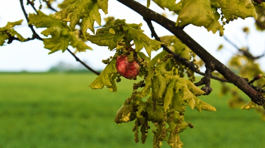 Oak Leaves and a gall