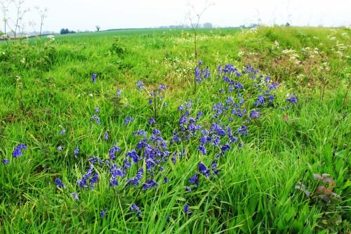 Bluebells on Blofield Heath