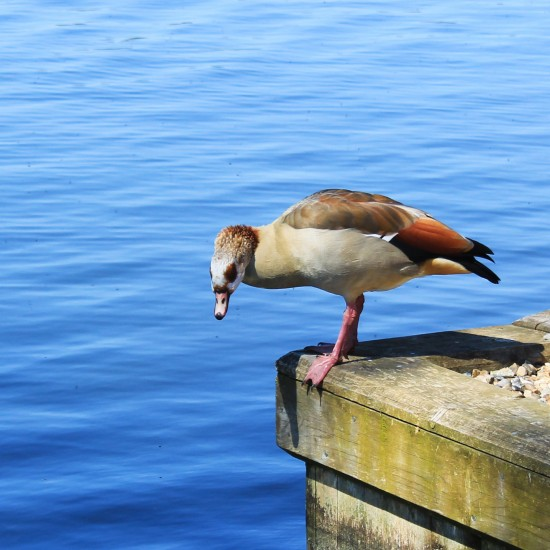 Egyptian Goose, male