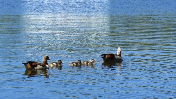 Egyptian Goose, Gander and 3 goslings