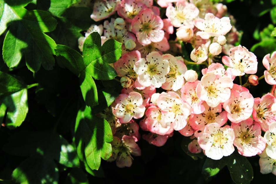 Pink Hawthorn