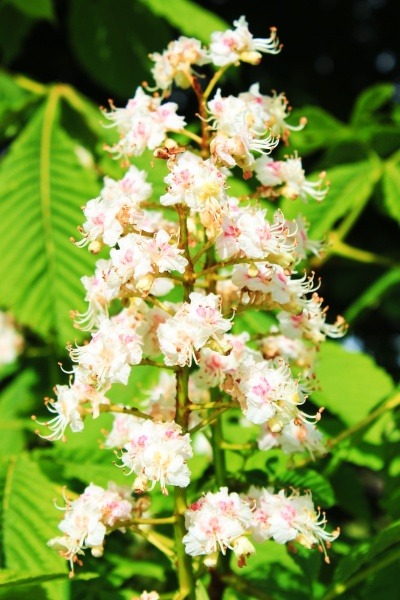 Indian Horse Chestnut