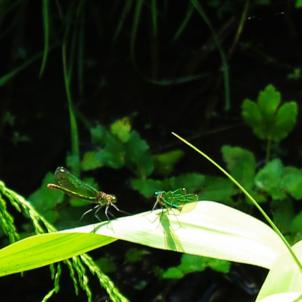 Beautiful Demoiselle, male and female