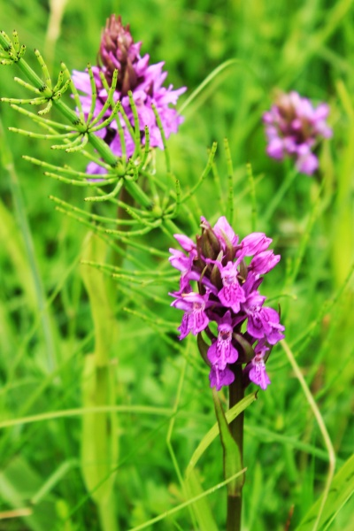 Narrow Leaf Marsh Orchid