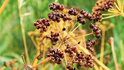 Seeds of Alexanders