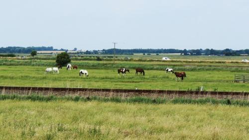 Horses graze beside A47