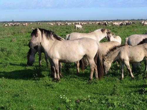 Konik Ponies in Poland