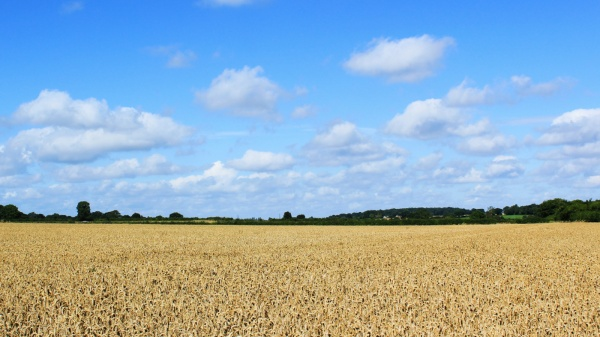 A Grain field at Saxlingham