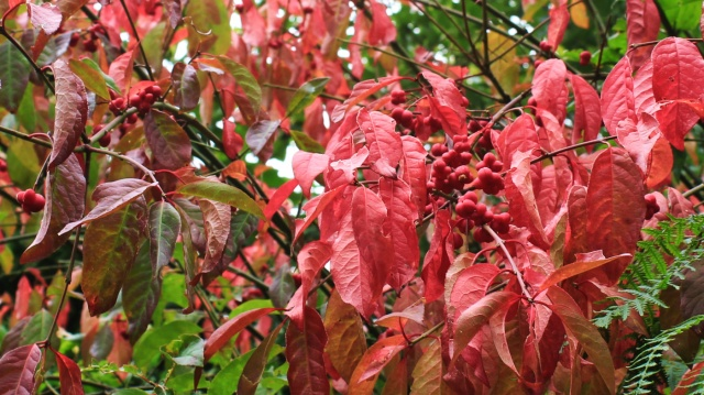 Spindle leaves and berries