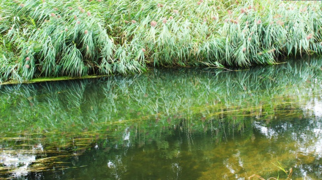 Reeds by the Wensum