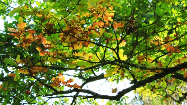 Autumnal oak foliage