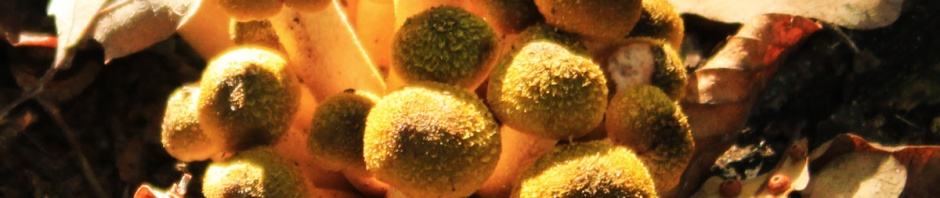 Saffron-coloured Puff-Balls