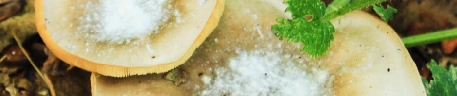 Fungi sugared pancakes