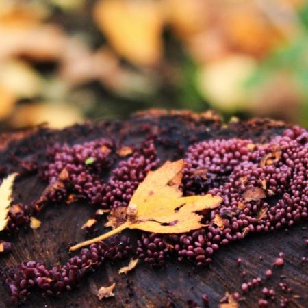 Fungi Blackcurrant jam