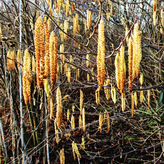 Catkins, Signs of Spring