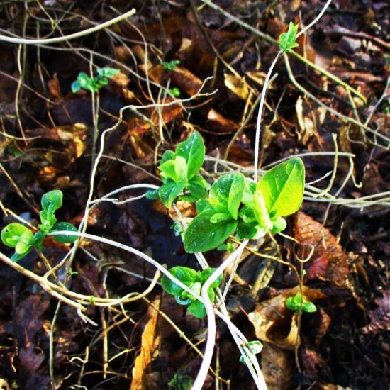 Honeysuckle Sign of Spring