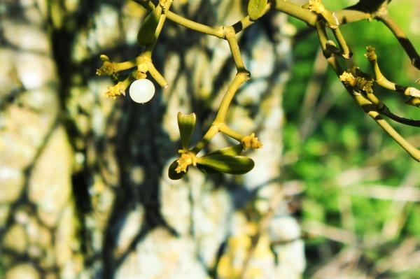 Mistletoe Moon Berry