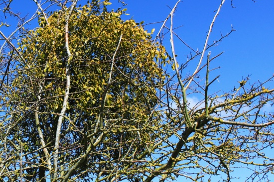 Mistletoe on Thorn