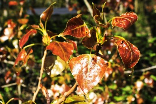 Red Black Poplar leaves 2