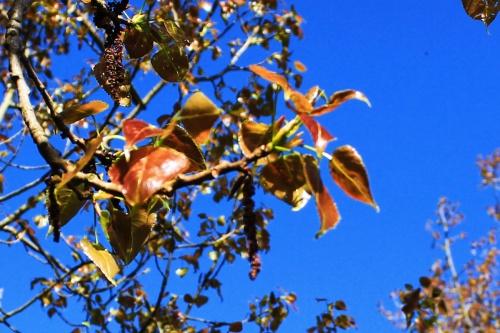 Red Black Poplar Leaves