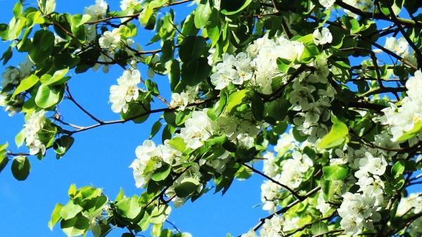 Prunus blossoms