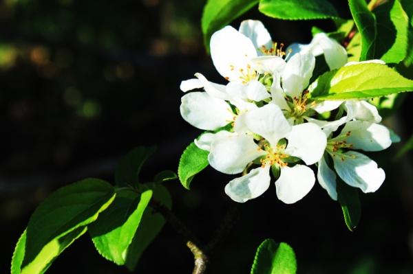 Prunus bloom
