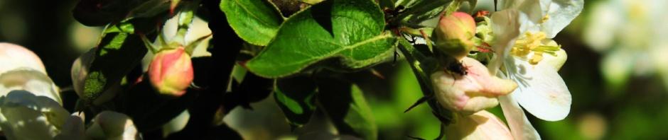 Prunus buds