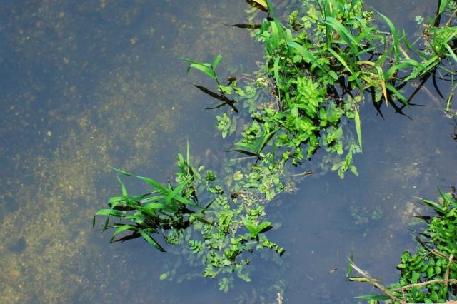 River weeds