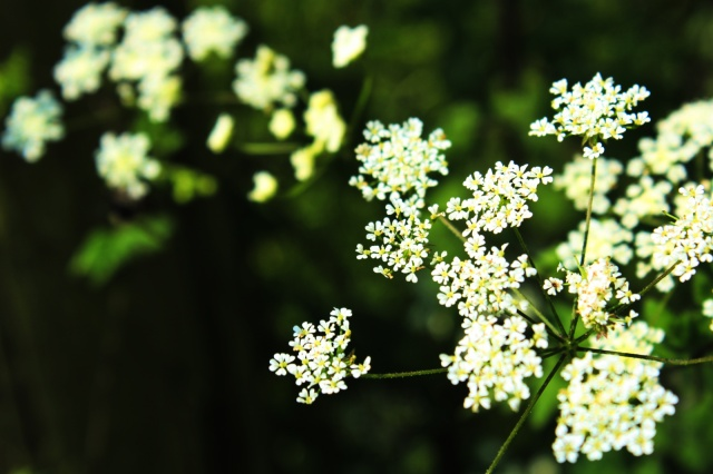 Hedge or Cow Parsley