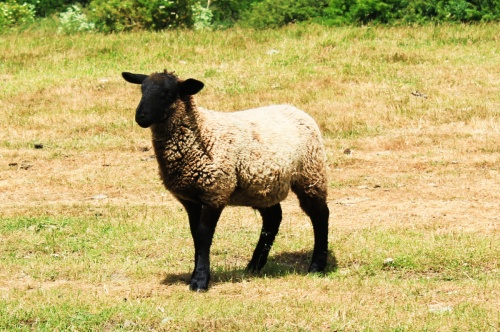 A lamb at Venta Icenorum