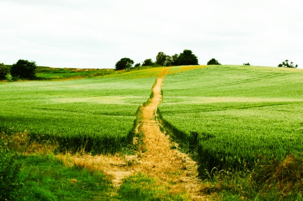 Footpath through grain-field at Arminghall
