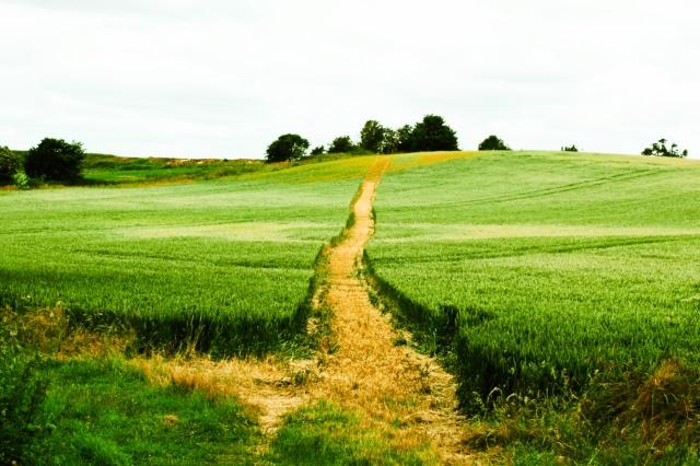 Footpath through grain-field at Arminghall
