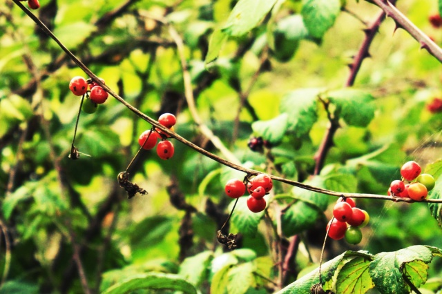 Black Bryony berries