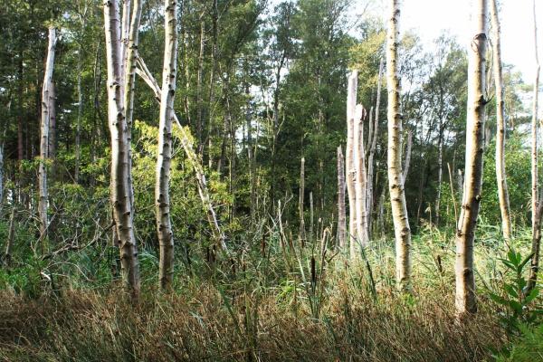 Pencil-like Birches