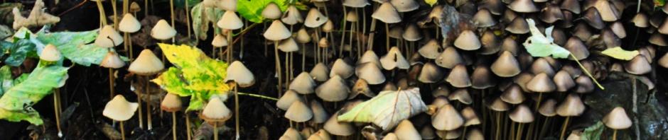 Brittlestem fungi