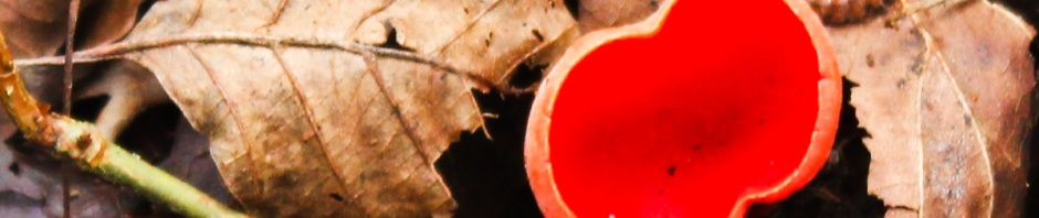 Scarlet Elf Cup