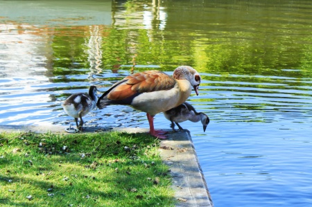 mrs egyptian goose and kids cp