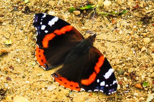 Butterfly Vulnerable