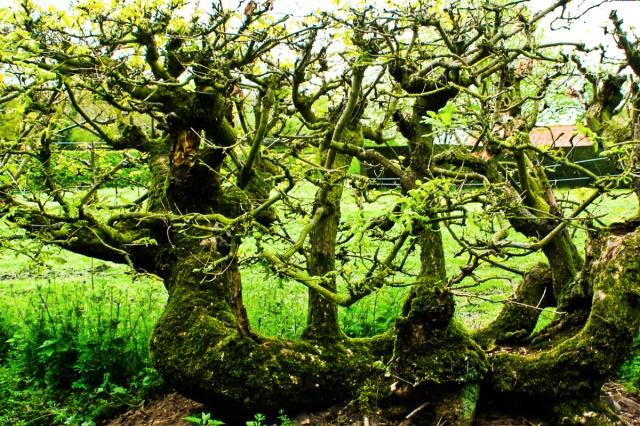 Laid Oak Hedge