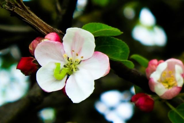 wayside apple blossom