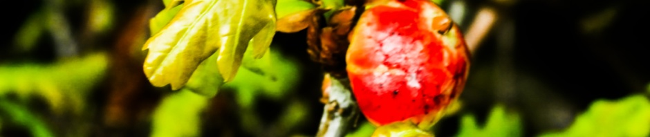 Red oak apple