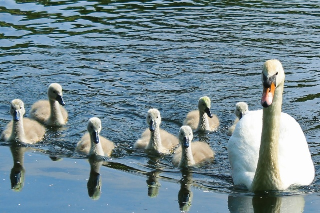 Cygnets and Swan