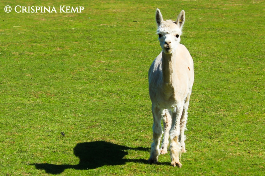 https://crimsonprose.files.wordpress.com/2020/01/alpaca-1.jpg?w=1024&h=682